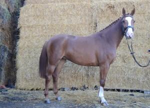 Jonge paarden 30-10-2015 042